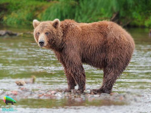 خرس برنزی